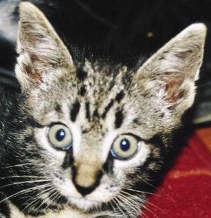 kitten headshot